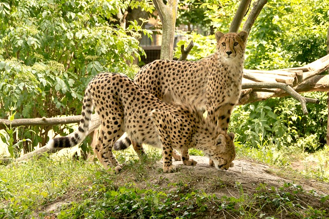 cheetahs on display in DC's National Zoo