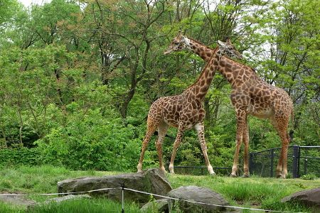 Giraffes at the Pittsburgh Zoo